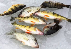 mixed-panfish-on-ice-448x308