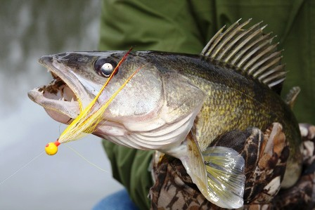 close-up-of-walleye-on-hand-tied-hair-jig-448x299