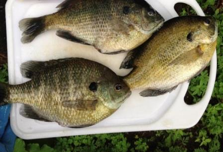 Bluegills caught on a family fishing trip
