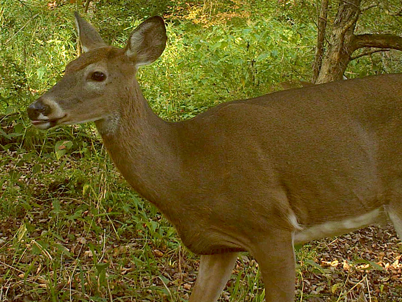 deer-smell-a-dirty-hat
