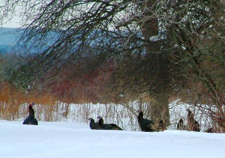 tracking-turkeys-in-snow-is-easier-448x314