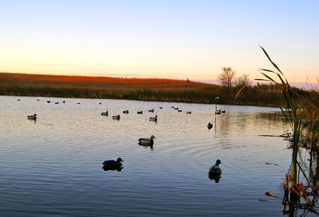 decoys-set-as-sun-rises-448x305