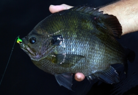 A bluegill caught while fishing at night