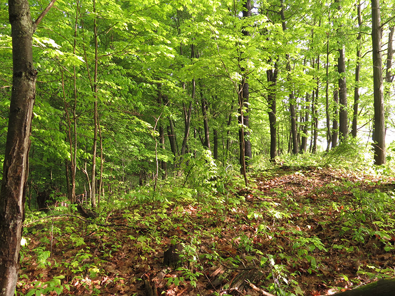 gobblers-sound-far-away-when-trees-are-leafed-out