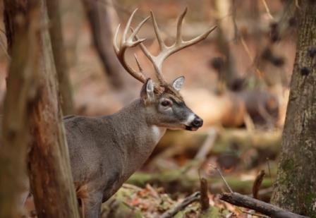 A mature whitetail deer in the woods