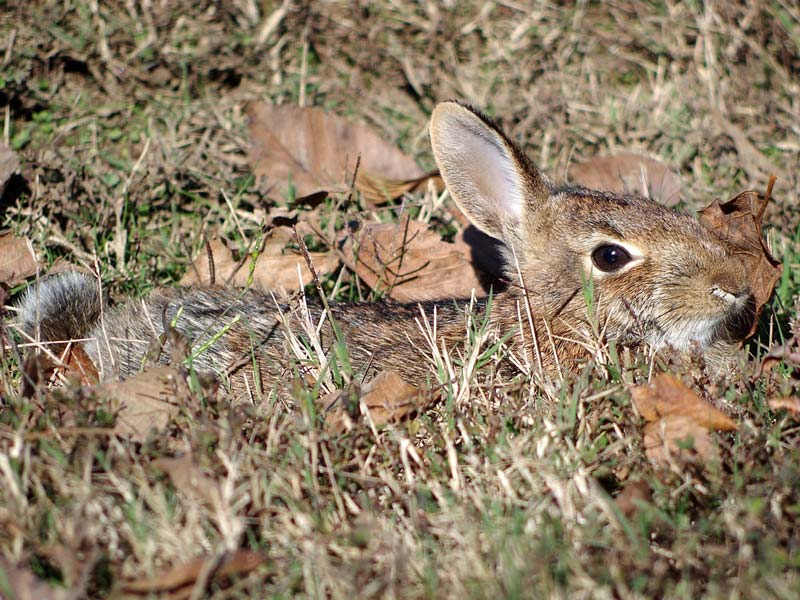 look for rabbits eyes when stalking