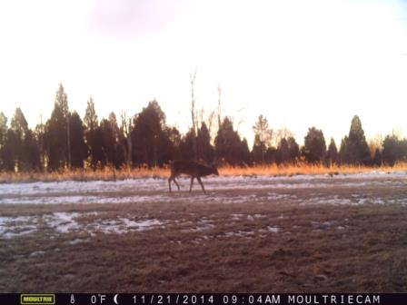 A deer caught out of range on a trail camera
