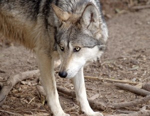 A Mexican wolf in the wild causes much debate among ranchers and wildlife conservationists.