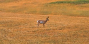 a lone satellite buck is ripe for a doe decoy