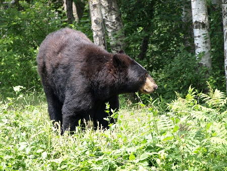 Countdown to a Canadian Black Bear Hunt, Part 1 - Image 1
