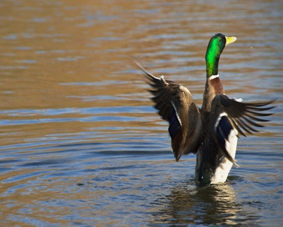 Duck Hunting 101 - 10 Tips To Get You Started Duck Hunting