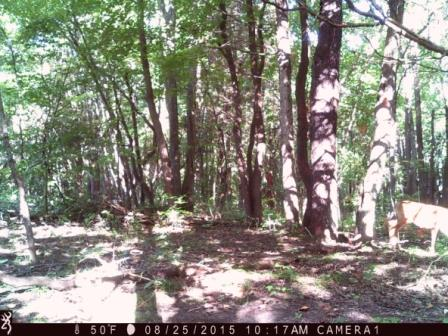 A hidden buck from a trail camera picture