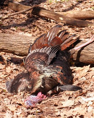 How to Choose Your Turkey Calls Part 1 - Image 1 by Steve Sorensen