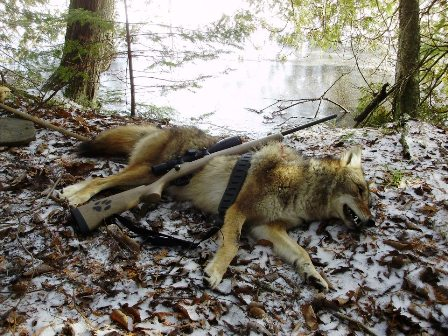 successful-coyote-calling-is-rewarding-448x336