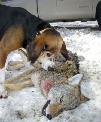 Hunting coyotes with hounds is good for both hunter and dog