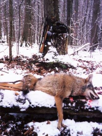 Eastern coyotes first peaked in population in the Northeast