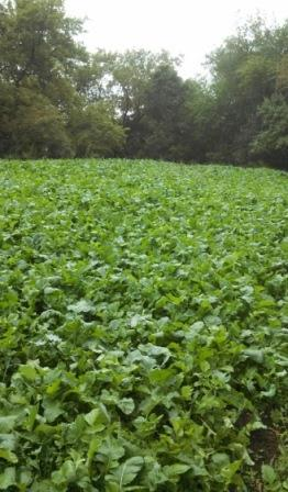 Small food plot tucked back into timber