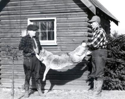Large coyote killed in Clearfield County during 1946 deer season