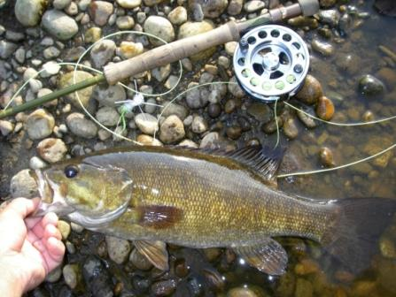 Smallmouth bass fly fishing catch