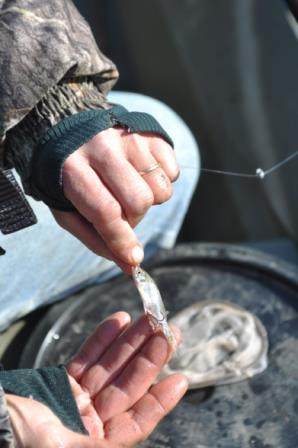 Strung minnows are highly effective for catching trout in less than perfect waters