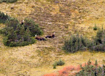 Moose hunting in the mountains