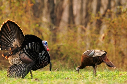 Aggressive Turkey Talk – When to Come On Strong By John Trout, Jr . Image 3