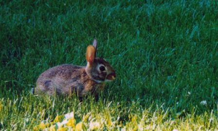Rabbits are abundant in spring and summer but frequently disappear in the fall and winter