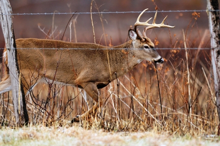 a-buck-rut-walking-fencelines-448x298