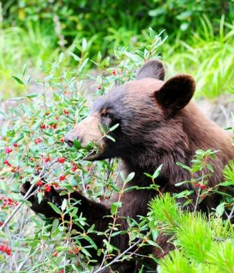 Bear eating berries for bear hunting article