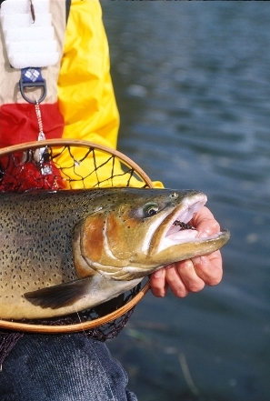 big trout need careful handling 302x448