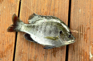 picture of bluegill fish caught during a day of fishing