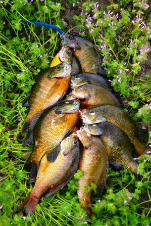 bluegills-on-a-line