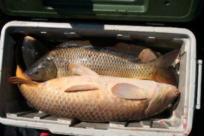 carp has many uses-trapping bait, bear bait-smoke it or pickle it