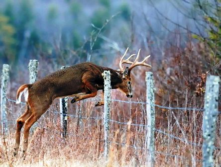 buck-jumping-fence-to-leave-corridor-444x336
