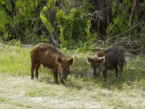 feral wild pig boars
