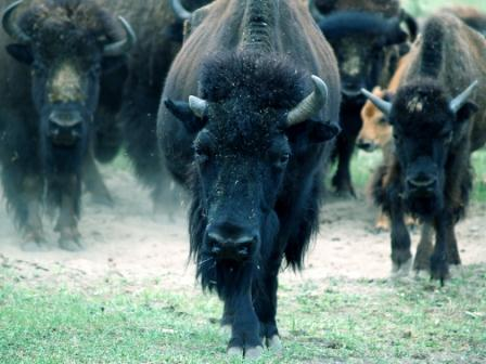 Image for story on does Havalon Piranta work on buffalo?