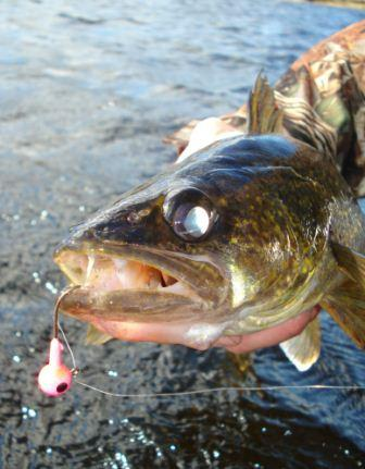 How to catch walleye in the weeds image of walleye with jig.