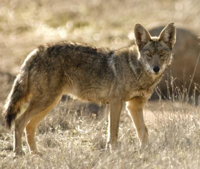 how-to-coyote-hunt-havalon-398x336