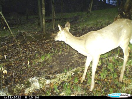 trail cameras help determine shedding 448x336