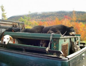 Trophy bear from Maine's Big Woods, transporting it to camp for skinning