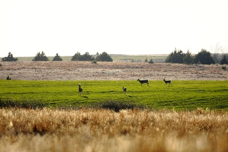 western-whitetails-on-wheat-448x299